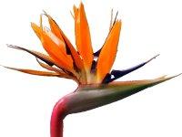 Viajes a Fuerteventura. Strelitzia Reginae, flor tropical